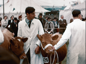 The colour image shows two farmers each holding a calf on a bridal rein, during a judging session at the Kent agricultural show, 1951. The two farmers are in white coats as spectators watch from outside the ring.