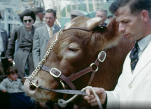 A colour close up image showing a large adult brown and white cow in a harness being led on show in an arena, for the Bognor Regis Agricultural Show