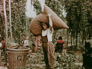 A colour still image showing a man standing with a large sack of hops on his shoulders in a Kent hop field, amongst a family of pickers