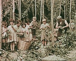 A wide colour still image taken from TID 11573, showing a group of school aged children dressed in their working smocks picking hops off vines in a hop field. The group stand mid action, next to traditional baskets.
