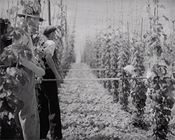A black and white still image taken from TID 13716, showing two men stood in a field surrounded by neat vertical rows of tall strung hop vines. The men are spraying the hops with water part way down the vines, from long poles attached to hoses.