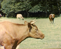 A still from 'A Bottle of Milk' (ca.1947) - a cow
