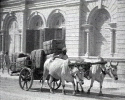 A still from [2nd Battalion Royal Sussex Regiment, Karachi] (1932-1935) showing cattle pulling a cart
