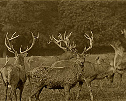 A still from [Red Deer at Warnham Court Park] (ca.1925)