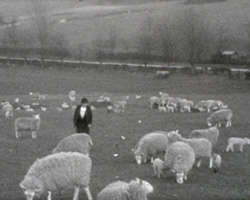 [Lambs; South Berkshire Show] (ca.1934)