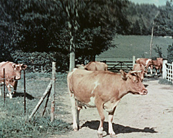 A still from [Horse Transport; Family; Farming; Cows] (1938)